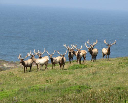 bull-tule-elk